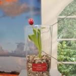 tulipan Maczka